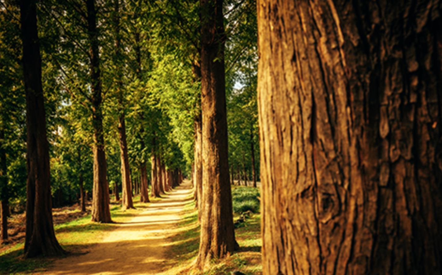 메타세콰이어 나무가 늘어서 있는 숲길