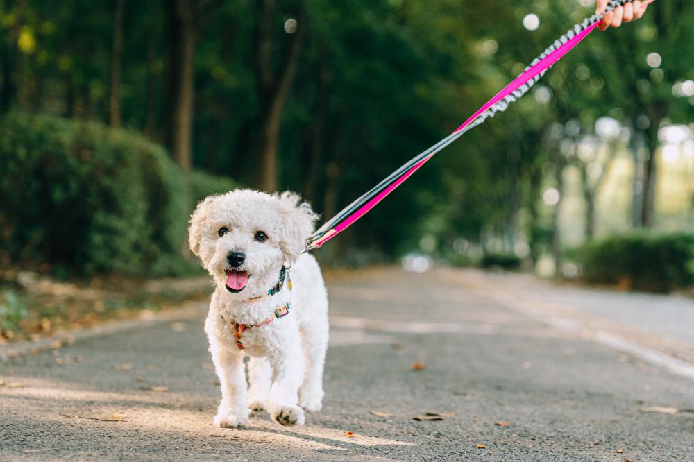 Белая собачка Со Чжун бежит по грунтовой дорожке, виляя хвостом