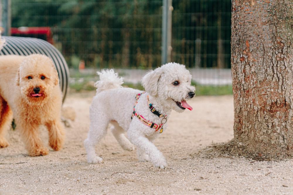 Белая собачка Со Чжун бегает по песчаной площадке. Слева от Со Чжуна видно маленькую кудрявую коричневую собаку