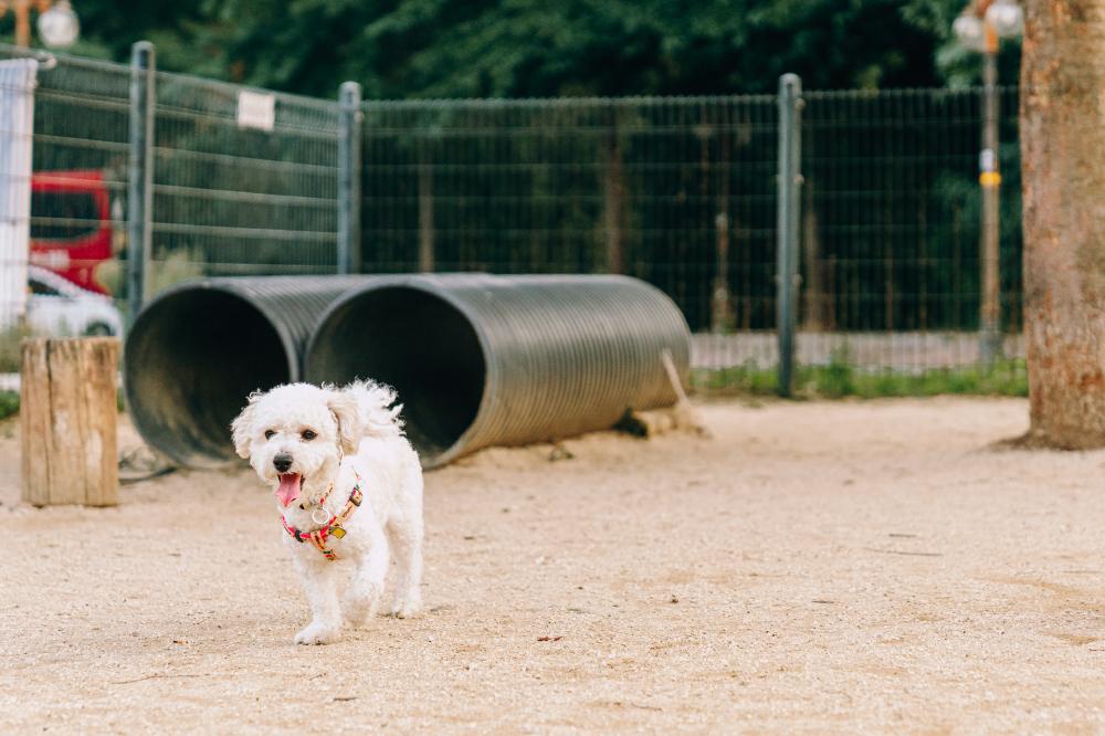 Маленькая белая собачка бегает внутри огороженной игровой площадки. Сзади собаки видно большие черные трубы для игр собак.