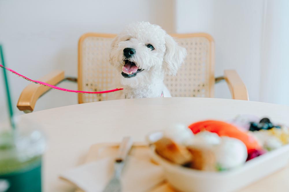 Белая собака сидит за столом на соломенном стуле в кафе Saessaaack